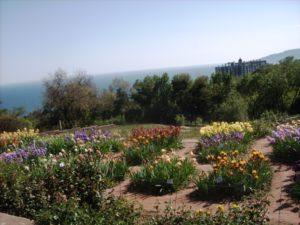 Ирисы, высаженные в Никитском ботаническом саду
