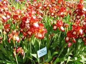 Ирис красной расцветки