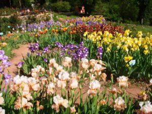 Ирисы разных цветов